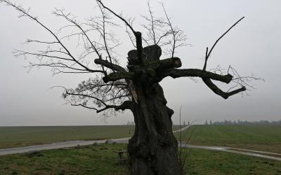 Alte Gerichtslinde im Mittelstedter Feld
