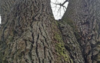 Uralte Bäume und keltischer Lindenweg